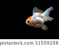 ปลา,ทอง,ปลาทอง 31509208