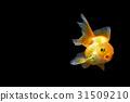 Goldfish 31509210