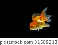 Goldfish 31509213