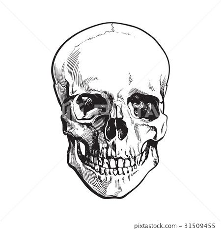 Hand drawn human skull, anatomical model, sketch 31509455