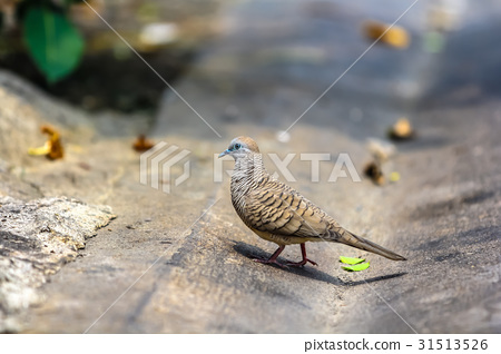 Java dove walking on the urban street background. 31513526