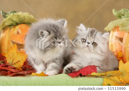 Persian kitten in fall decoration 31513990