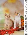 autumn british shorthair 31514000