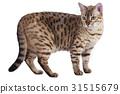 bengal, cat, standing 31515679