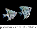 Angel fish in aquarium 31520417