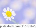 마토리카리아 꽃. 31530845