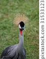 balearica, regulorum, bird 31533123