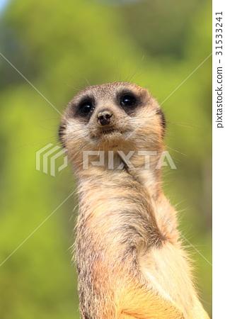 Look at Meerkat 31533241