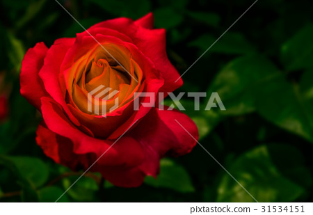 red rose on green blurred background 31534151