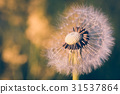 close up of Dandelion, spring abstract background 31537864