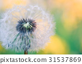 close up of Dandelion, spring abstract background 31537869