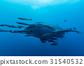 Whale Shark (Rhincodon typus) the largest fish 31540532