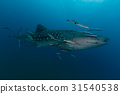 Whale Shark (Rhincodon typus) the largest fish  31540538