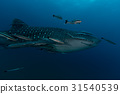 Whale Shark (Rhincodon typus) the largest fish 31540539