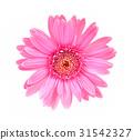 Gerbera flower isolated white background 31542327