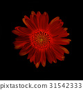 Gerbera flower colorfull abstract black background 31542333