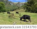 graze, grazing, pasture 31543793