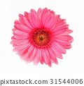 Gerbera pink flower on white background 31544006