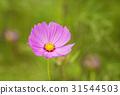 cosmos, cosmea, bloom 31544503