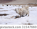 White Goats on snow field 31547660