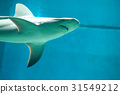 beautiful and dangerous shark in the water 31549212