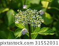 hydrangea, start, to 31552031