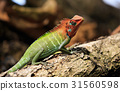 chameleon on tree in tropical fores 31560598