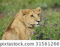 獅子 年輕 青春 31561266