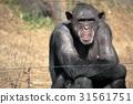 침팬지, 앉다, 동물 31561751