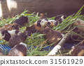 The guinea pigs are eating grass. 31561929