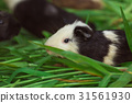 Cute Guinea pig black and white, eating grass. 31561930