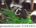 Cute Guinea pig black and white, eating grass. 31561931