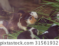 Cute Guinea pig,eating grass. 31561932