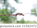 Old rusted barbed wire fences with barbed wire fen 31562472