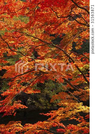 단풍나무,백암산,장성군,전남 31563871