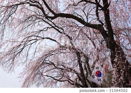태극기,수양벚꽃,국립서울현충원,동작구,서울 31564502