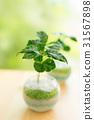 室內盆栽 觀葉植物 舒適 31567898