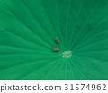 青蛙 滴灌 兩棲動物 31574962