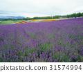 꽃밭, 라벤더, 보라 31574994