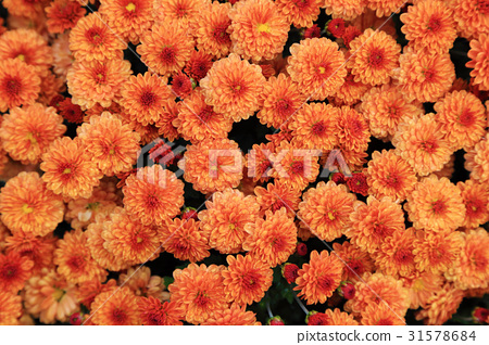 Orange color chrysanthemum flowers bouquet. 31578684