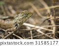 Image of chameleon on nature background. Reptile 31585177
