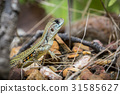 Image of Butterfly Agama Lizard(Leiolepis Cuvier)  31585627
