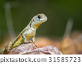 Image of Butterfly Agama Lizard (Leiolepis Cuvier) 31585723