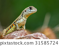 Image of Butterfly Agama Lizard (Leiolepis Cuvier) 31585724