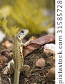 Image of Butterfly Agama Lizard (Leiolepis Cuvier) 31585728