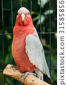 Galah Or Eolophus Roseicapilla, Also Known As The 31585856