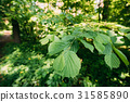 Leaf Leaves On Branch Of Green Alder Or Alnus 31585890