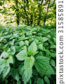 The Twigs Of Wild Nettle, Stinging Nettle Or 31585891