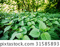 The Twigs Of Wild Nettle, Stinging Nettle Or 31585893