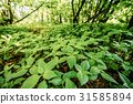 Wild Bushy Thickets Of Small-Flowered Touch-Me-Not 31585894